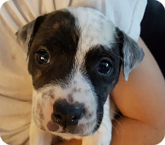 American Bulldog Mix Puppy for adoption in Coral Springs, Florida - Harley