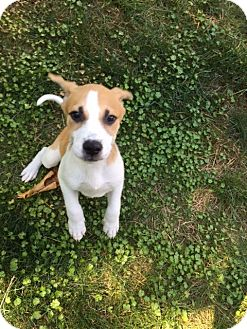 Labrador Retriever/Hound (Unknown Type) Mix Puppy for adoption in Barnegat, New Jersey - Jax