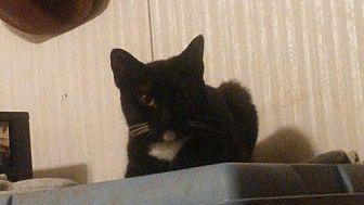 Domestic Shorthair Cat for adoption in Bertram, Texas - Luna
