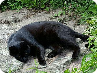 Domestic Shorthair Cat for adoption in Roscoe, New York - Jack