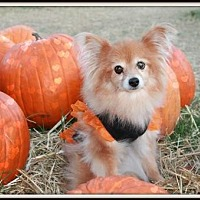 Pomeranian Dog for adoption in Dallas, Texas - Cee Cee