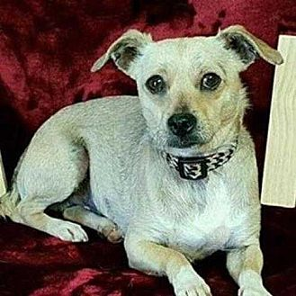 Chihuahua Dog for adoption in Calimesa, California - Lester