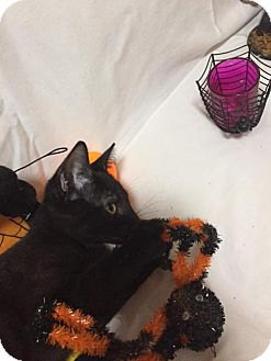 Domestic Shorthair Kitten for adoption in Vacaville, California - Davidson