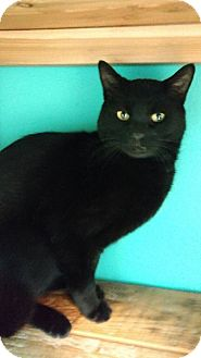 Domestic Shorthair Cat for adoption in Brookings, South Dakota - Nightwing