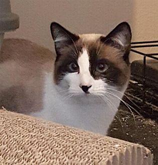 Snowshoe Cat for adoption in Austin, Texas - Artemis