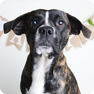 Mixed Breed (Medium)/Boston Terrier Mix Dog for adoption in Wilmington, Delaware - Biscotti