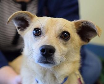 Chihuahua Mix Dog for adoption in Chico, California - RUFOUS