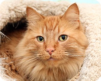 Domestic Longhair Cat for adoption in Royal Oak, Michigan - COLBY