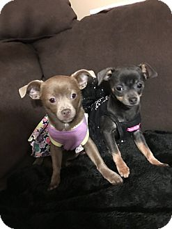 Chihuahua Puppy for adoption in Chicago, Illinois - Eva and Ali