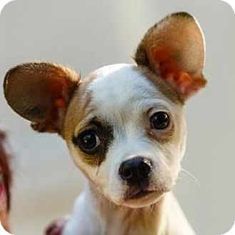Chihuahua/Jack Russell Terrier Mix Puppy for adoption in Decatur, Georgia - Tania