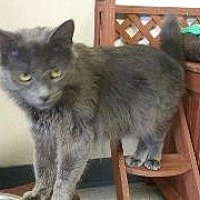 Domestic Shorthair Cat for adoption in Queenstown, Maryland - Tony