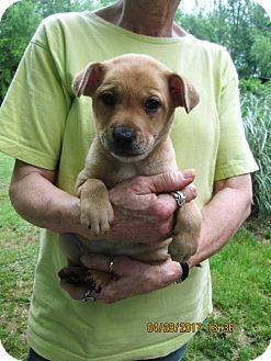 Feist Mix Puppy for adoption in Oswego, New York - CHARLEMAGNE