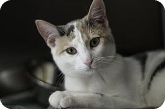 Domestic Shorthair Cat for adoption in Oak Park, Illinois - Sarah
