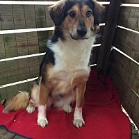 Adopt A Pet :: Prima - Asheville, NC