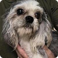 Adopt A Pet :: Spunky - Ft. Lauderdale, FL