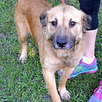 German Shepherd Dog Mix Dog for adoption in Shallotte, North Carolina - Farrah