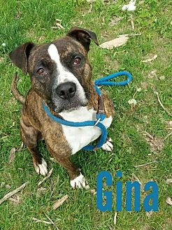 American Staffordshire Terrier/Boxer Mix Dog for adoption in Flint, Michigan - Ginger