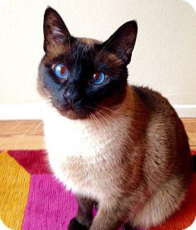 Siamese Cat for adoption in Pasadena, California - Meow