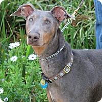 Adopt A Pet :: Storm - Tracy, CA