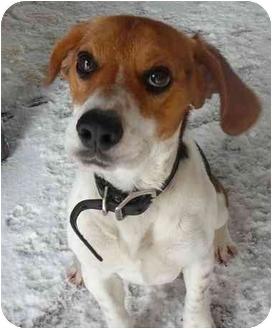 Beagle Dog for adoption in Vinton, Iowa - Cooper