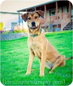 German Shepherd Dog/Hound (Unknown Type) Mix Dog for adoption in West Richland, Washington - Gunny