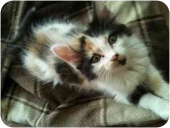 Calico Kitten for adoption in Newburgh, Indiana - Annie