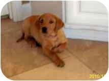 Labrador Retriever Mix Puppy for adoption in Houston, Texas - Max