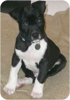 Labrador Retriever/American Staffordshire Terrier Mix Puppy for adoption in Berea, Ohio - Marshmallow