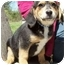 Photo 2 - Australian Shepherd/Beagle Mix Puppy for adoption in North Judson, Indiana - Huckleberry