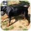 Photo 2 - Doberman Pinscher Dog for adoption in Dahlonega, Georgia - Georgia