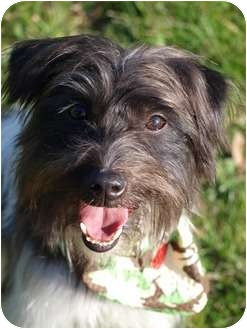 Shih Tzu/Terrier (Unknown Type, Small) Mix Dog for adoption in Toronto/Etobicoke/GTA, Ontario - Phoenix