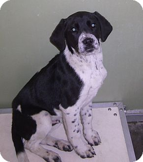 Labrador Retriever/Spaniel (Unknown Type) Mix Puppy for adoption in Richmond, Virginia - Manny