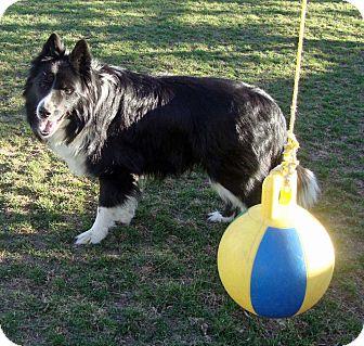 Border Collie Mix Dog for adoption in Denver, Colorado - Mac