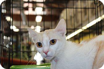 American Shorthair Cat for adoption in Santa Monica, California - Marilyn