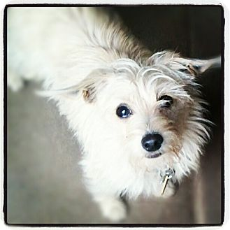Terrier (Unknown Type, Small)/Yorkie, Yorkshire Terrier Mix Dog for adoption in Santa Ana, California - Cooper