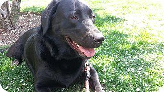 Labrador Retriever Dog for adoption in Oak Brook, Illinois - Lucky