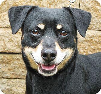 Beagle/Miniature Pinscher Mix Dog for adoption in Overland Park, Kansas - Georgie