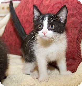 Domestic Shorthair Kitten for adoption in Irvine, California - Sabrina
