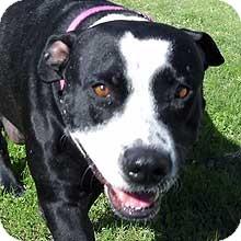 Staffordshire Bull Terrier Mix Dog for adoption in Phoenix, Arizona - Sage