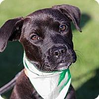 Adopt A Pet :: Polly - Seattle, WA