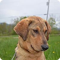 Adopt A Pet :: Yogi - Newport, VT