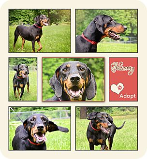 Hound (Unknown Type) Mix Dog for adoption in Clarksville, Tennessee - Shawny