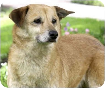 Shiba Inu/Sheltie, Shetland Sheepdog Mix Dog for adoption in Marina del Rey, California - Starr