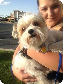 Yorkie, Yorkshire Terrier Dog for adoption in Ogden, Utah - Prince