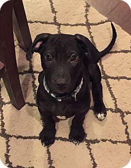 Boxer/Labrador Retriever Mix Puppy for adoption in MILWAUKEE, Wisconsin - RALEIGH
