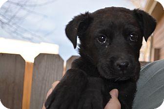 Labrador Retriever Mix Puppy for adoption in Westminster, Colorado - Kara