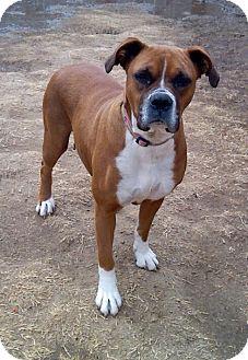 Boxer Dog for adoption in Manhattan, Kansas - China