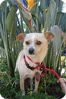 Chihuahua Mix Dog for adoption in Long Beach, California - Classy Sassy