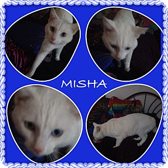 Domestic Shorthair Cat for adoption in Sterling Heights, Michigan - Misha