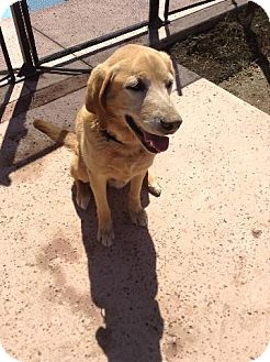 Labrador Retriever Mix Dog for adoption in Redding, California - Major